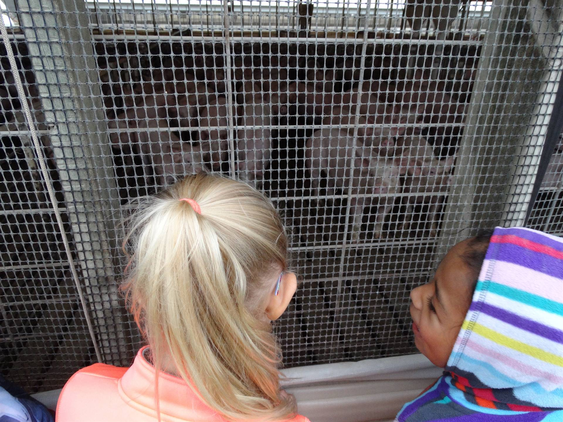 GHV first graders look at pigs while on a field trip to a farm