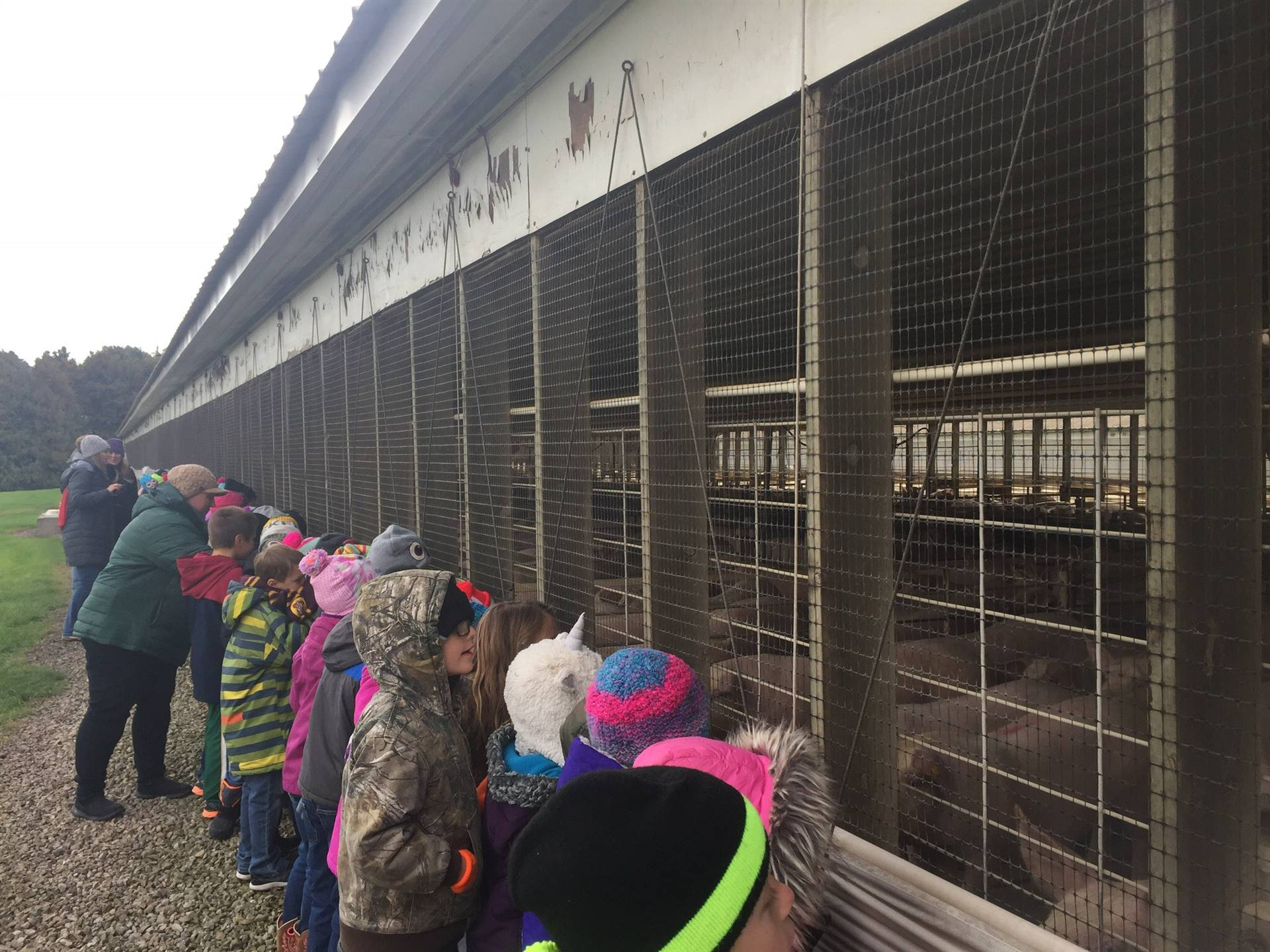 first grade students lined up to view livestock on a farm