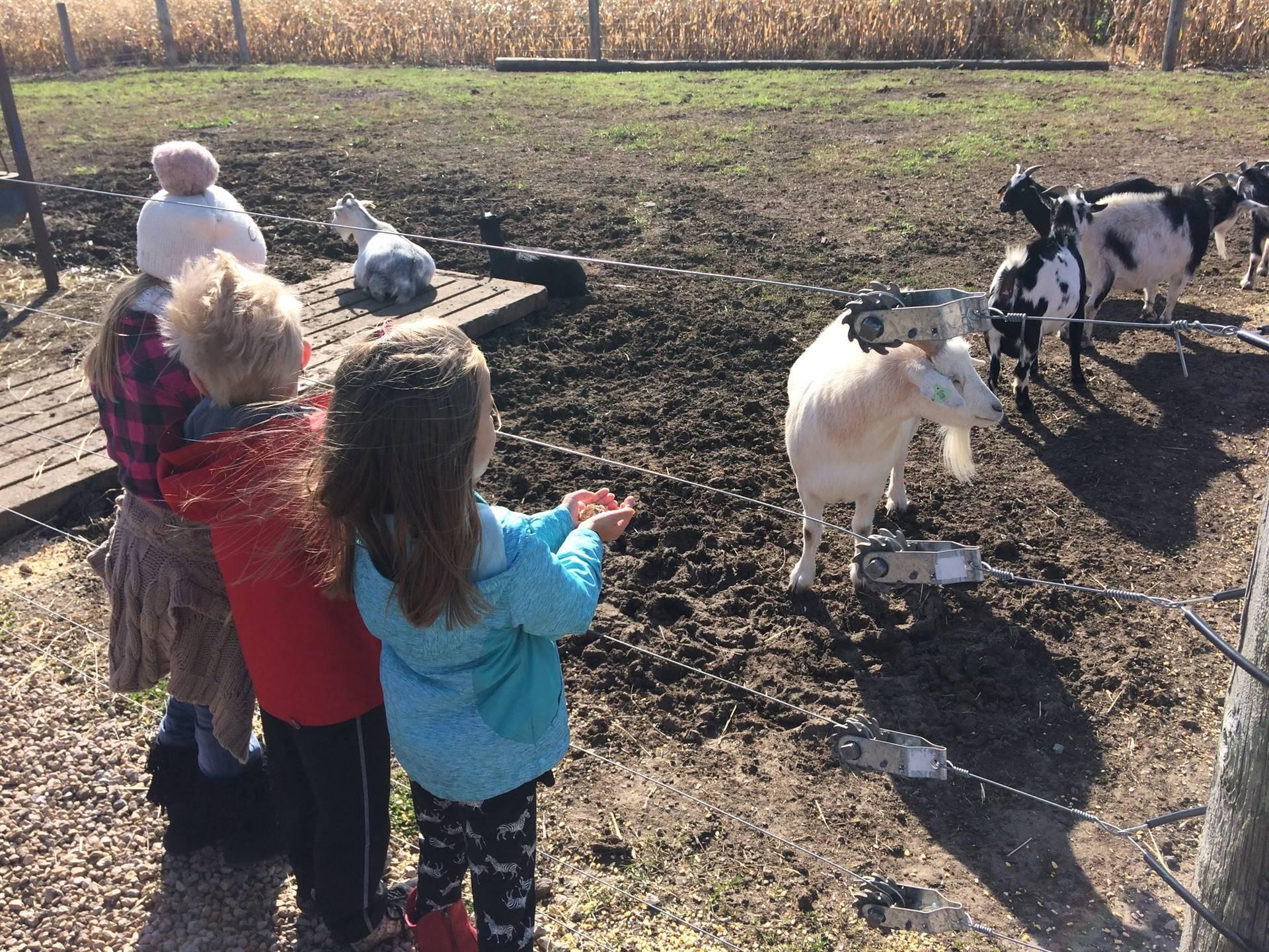 three first graders feeding goats on a farm